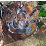 1884a900a9cb2b7bf30dfc7624a6713d 150x150 - ヤシガニ 異例発見事件!飼育されてた?沖縄でラーメン食べると毒と言われてるけど…